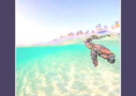 Trecho de Scamonis – tartarugas peroladas